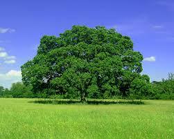 A Justiça Deve Ser Como Uma Árvore Bonita